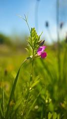 Primevere (Macsous) Tags: flower macro fleur rose vert bleu ciel printemps champ primevere