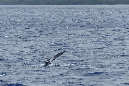 Buckelwal vor Maui