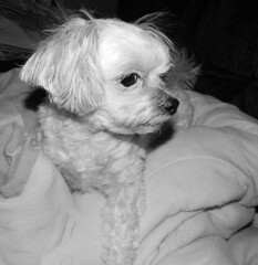 My Soft-Hearted Little Girl (marilyntunaitis) Tags: pets dogs bella dogchal dailydogchallengesofterside 2015ayearinpictures 365days2015photoadaychallenge