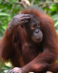 """Lost my hat"" (One more shot Rog) Tags: hairy nature wildlife borneo orangutan ape monkeys primate sabah sepilok gentle primates orangutans wildman borneanorangutan onemoreshotrog rogersargentwildlifephotography"