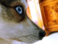 Alaskan Klee Kai (i_am_thetorch) Tags: dog pet pets puppy husky blueeyes alaskan kleekai alaskankleekai huskypuppy alaskankleekaipuppy kleekaipuppy