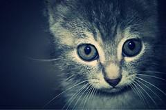 Chaton (maureenthominet) Tags: baby cat chat bb chaton