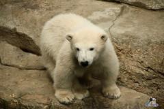 Eisbr Lili im Zoo Bremerhaven 30.04.2016 Tei 1  115 (Fruehlingsstern) Tags: polarbear lloyd lili bremerhaven zooammeer valeska eisbr seelwen canoneos750 tamron16300