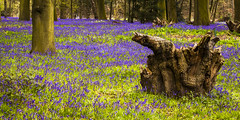 Hodsock Priory bluebells (A.I.D.A.N.) Tags: wood nottingham flowers blue trees flower colour nature grass bluebells canon woodland outdoors eos countryside spring woods quiet peaceful treetrunk bark shade stump trunk grasses bluebell treestump priory mkii markii hodsock worksop notts hodsockpriory thecolourblue canoneos5dmarkii canon5dmkii canon5dmarkii