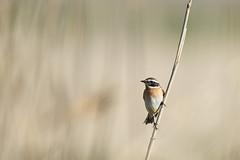 Saxicola Rubetra (Artur Rydzewski) Tags: poklaskwa saxicolarubetra bird smallbird nature brown ngc challengegamewinner