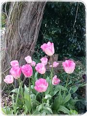 Spring flowers, Elsecar Park. (Sharon B Mott) Tags: pink flowers spring tulips may springflowers southyorkshire elsecarpark snapseed sonyxperiaz3