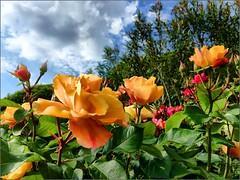 May (Arnzazu Vel) Tags: naturaleza flower nature rose gardens flor may rosa natura mayo fiore