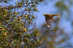 Wood warbler (Phylloscopus sibilatrix) (tmy81) Tags: bird woodwarbler phylloscopussibilatrix sirittj