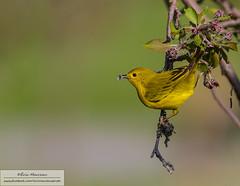 Yellow warbler (eric marceau) Tags: wild canada bird animal yellow spring quebec bokeh wildlife warbler