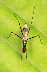 Stilt-legged Fly - Rainieria antennaepes, Prince William Forest Park, Triangle, Virginia (judygva) Tags: