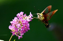 hummingbird hawk-moth (Macroglossum stellatarum) (blthornburgh) Tags: nature garden insect backyard outdoor moth hummingbirdmoth flyinginsect hummingbirdhawkmothmacroglossumstellatarum thornburgh