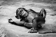 DSC_2905.jpg (Foster's Lightroom) Tags: au sydney australia newsouthwales zoos tarongazoo mosman chimpanzees