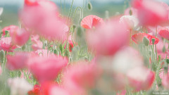 poppy happy square (it05h1) Tags: flowers plants plant flower nature field japan landscape blossom blossoms poppy vegetation fields saitama konosu shirleypoppy japanscape it05h1
