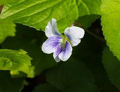 Violet (vern Ri) Tags: spring violet