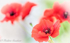 cloudy Spring (frederic.gombert) Tags: light red cloud sun white color macro green colors rain nikon cloudy poppy poppies greatphotographers d810 macrodreams