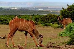 Female Kudu, South Africa (markdescande) Tags: africa park travel wild brown game tourism nature animal female southafrica addo mammal bush natural outdoor wildlife south reserve safari southern national antelope wilderness gazelle easterncape herbivore gamereserve kudu zaf