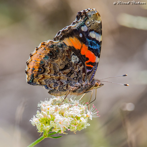 "Red Admiral (Vanessa atalanta) • <a style=""font-size:0.8em;"" href=""http://www.flickr.com/photos/59465790@N04/26868584840/"" target=""_blank"">View on Flickr</a>"