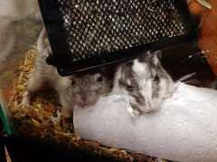 DSCN1033 (therovingeye) Tags: pets animals gerbil rodents gerbilhabitat