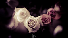Rose! (rohitsanu1) Tags: lighting red white flower home rose canon 50mm leaf petals natural edited blurred fresh faded f18 thorn lightroom canon5dmarkii