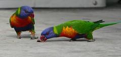 birds 3 (Toni O'Connor2010) Tags: birds rainbow australia lorikeets