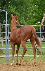 28 (CrevanNight) Tags: spring horse horses farm farms country equine train training thoroughbred thoroughbreds yearling yearlings cute pretty couple sweet equines new experience life lover stubborn young amish lancaster pennsylvania pa