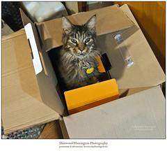 Boxnanza (Sherwood Harrington) Tags: cats pets al box boxes bigal mainecooncat alnitak