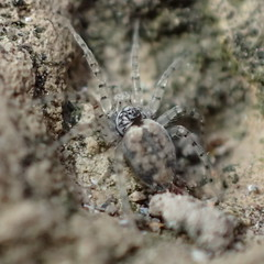 Oecobius maculatus, Simon 1870 ♂ (Araneæ Oecobiidæ Oecobiinæ Oecobiini) (Elena Regina) Tags: oecobiidae araneae spider oecobius oecobiusmaculatus animalia arachnida arthropoda oecobiinae oecobiini