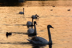 Swan sunset (CAscotPhotography) Tags: cascotphotography cute animal animals bird birds river thames riverthames windsor wildlife wildfowl nature sunset goldenhour nikon d7100