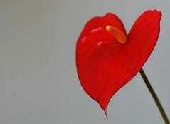 da cuore a cuore... (andrea.zanaboni) Tags: red flower macro nikon heart passion fiore rosso cuore redpassion