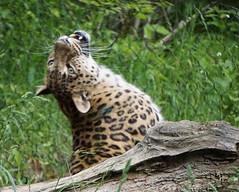 DSC06876 (Ed McKaveney) Tags: zoo pittsburgh leopard