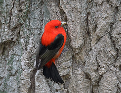 Scarlet Tanager (sspike@rogers.com) Tags: tree male scarlet side unusual tanager steverossi behavier