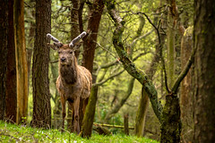 Watching (liamhancox1) Tags: park trees brown green face grass animal forest looking deer antlers facetoface staring lyme lymepark