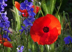 pieds d'alouette et coquelicots (b.four) Tags: flower fleur poppy fiore delphinium larkspur coquelicot alpesmaritimes papavero cagnessurmer pieddalouette