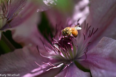 Heart worker (Katy Wrathall) Tags: 2016 2016pad 30dayswild eastriding eastyorkshire england june summer bee clematis
