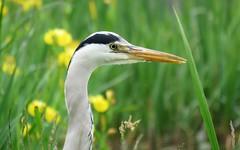 Hello (Elisa1880) Tags: bird heron netherlands grey leiden nederland ardea blauwe reiger vogel cinerea cronesteyn polderpark