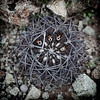 21 Neoporteria heinrichiana (Umadeave) Tags: chile cactus montagne plante flora chili desert atacama flore eriosyce neoporteria heinrichiana