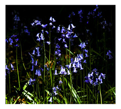 Blue patches (dunne_s) Tags: second bluebells flowers forest kildare ireland underexposure
