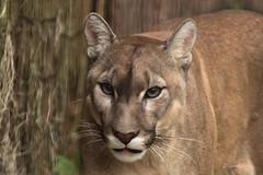 Puma - Mountain Lion (K.Verhulst) Tags: mountainlion puma panther bergleeuw poema cats hoenderdaell landgoedhoenderdaell stichtingleeuw annapauwlona nl cougar vincent kat cat