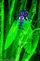 Cicadas (Japester68) Tags: city light sculpture animal festival night cicada insect asian zoo outdoor walk sydney vivid australia event nsw lantern aus 3star