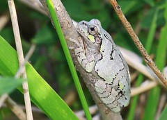 gray tree frog at Cardinal Marsh IA 854A8252 (lreis_naturalist) Tags: county tree cardinal gray reis iowa frog larry marsh winneshiek