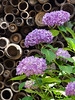 Hortensia (raibums) Tags: nature hydrangea hortensia macrophylla