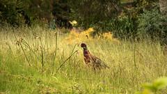 Day 6 35 Logan Botanic Garden pheasant again (bob watt) Tags: uk june canon scotland pheasant 7d 2016 18135mm loganbotanicgarden canoneos7d kirkcudbrightholidayjune2016