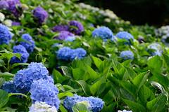 22Yamada Pond Park (anglo10) Tags: flower japan