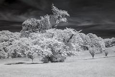 DSC_3973s (An Xiao) Tags: arboretum bonsai penjing