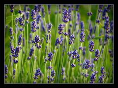 Lavendel (karin_b1966) Tags: plant flower nature garden blossom natur pflanze lavender blume blte garten lavendel 2016 lavendula yourbestoftoday