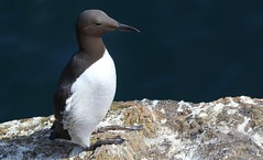 Guillemot 150516 (8) (Explored) (Richard Collier - Wildlife and Travel Photography) Tags: birds wildlife naturalhistory british seabird guillemot britishbirds