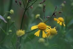 Wild Flowers (bamboosage) Tags: germany m42 19 meyer 58 preset optik gorlitz primoplan