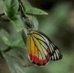 Delias hyparete, Painted Jezebel (Birdernaturalist) Tags: nepal butterfly pieridae richhoyer