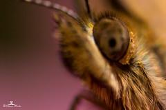 butterfly (89lilly) Tags: sardegna italy flower detail macro love nature canon butterfly insect reflex italia details natura ali explore ala dettagli petali lovenature farfalla insetto insetti ogliastra lepidotteri barisardo lovemacro lepidottero bar canon550d