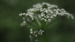 Happy Midsummer (jurgenkubel) Tags: flower blomma blume blte